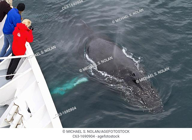Curious adult humpback whale Megaptera novaeangliae surfacing off the bow of the National Geographic Explorer in Dallmann Bay, Antarctica, Southern Ocean