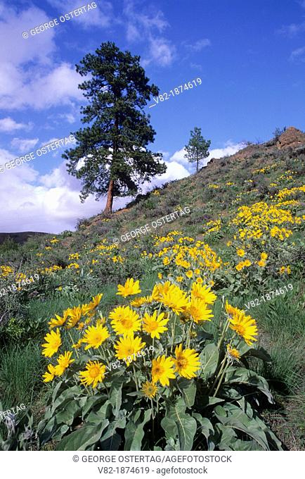 Balsamroot Balsamorhiza deltoidea to ponderosa pine, Methow Wildlife Area, Washington