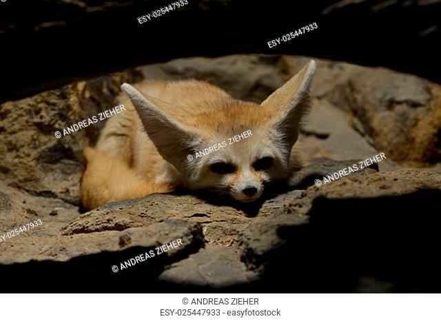 fennec fox dozing to himself