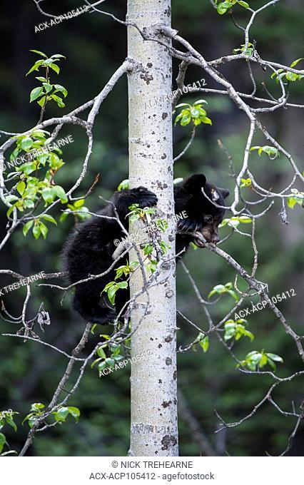 Black Bear, Ursus americanus Cub climbing a tree Alberta, Canada