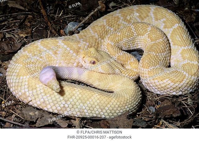 Western Diamondback Rattlesnake Crotalus atrox Albino
