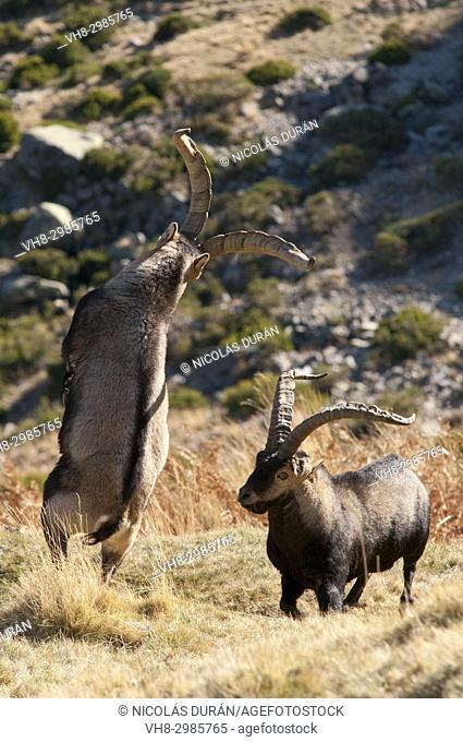 Fight males of mountain goat (Capra hispanica), Sierra de Gredos, Ávila, Castilla León, Spain