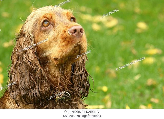 English Cocker Spaniel (1 year old). Portrait of a bitch. Germany