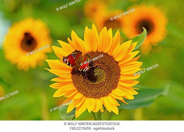 Peacock Butterfliy on top of a Sunflower Blossom