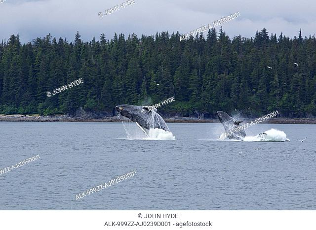 COMPOSITE: Two Humpback whales breach in Chatham Strait near Chichagof Island, Tongass National Forest, Southeast Alaska, Summer