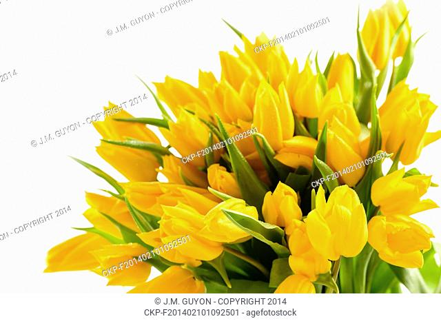 Bunch of yellow tulips spring flowers isolated on white