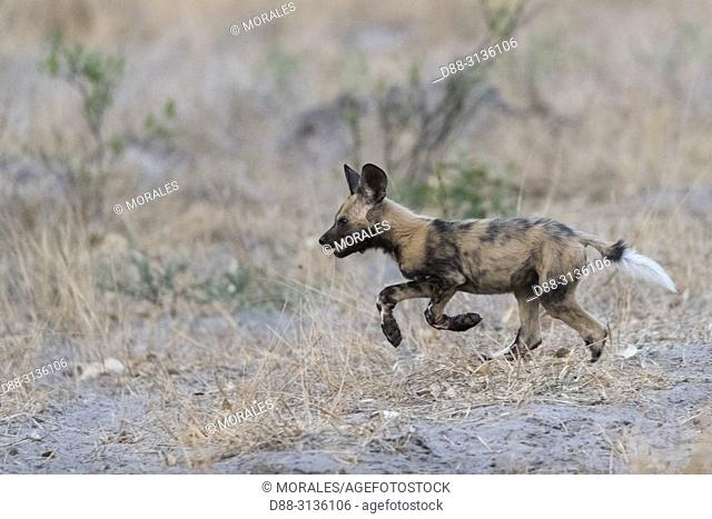 Africa, Southern Africa, Bostwana, Moremi National Park, African wild dog or African hunting dog or African painted dog (Lycaon pictus), young