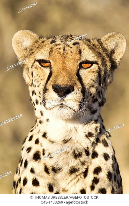 Cheetah Acinonyx jubatus - Close-up of a female  Photographed in captivity on a farm  Namibia