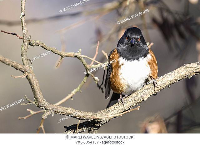 Spotted Towhee, Pipilo maculatus, Burnaby Lake Regional Park, Burnaby, British Columbia, Canada
