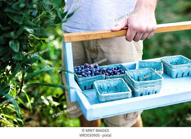 A man carrying a tray of fruit punnets and picking blueberries