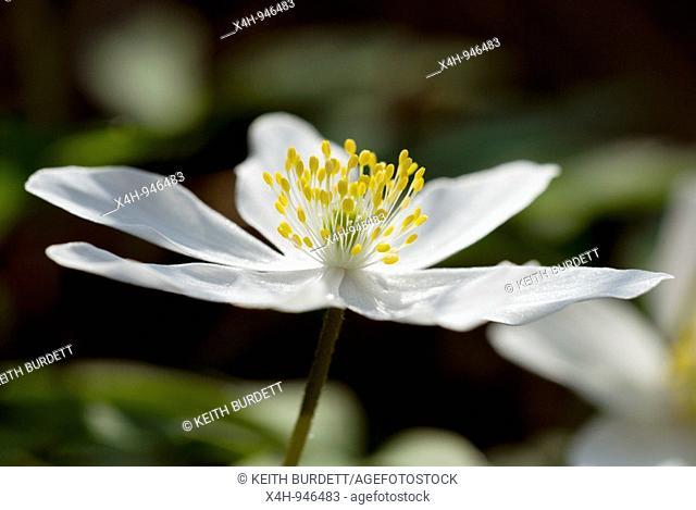 Wood Anemone, Anemone sylvatica, Wales