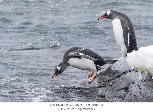 Gentoo penguins, Pygoscelis papua, returning to sea from breeding colony at Port Lockroy, Antarctica