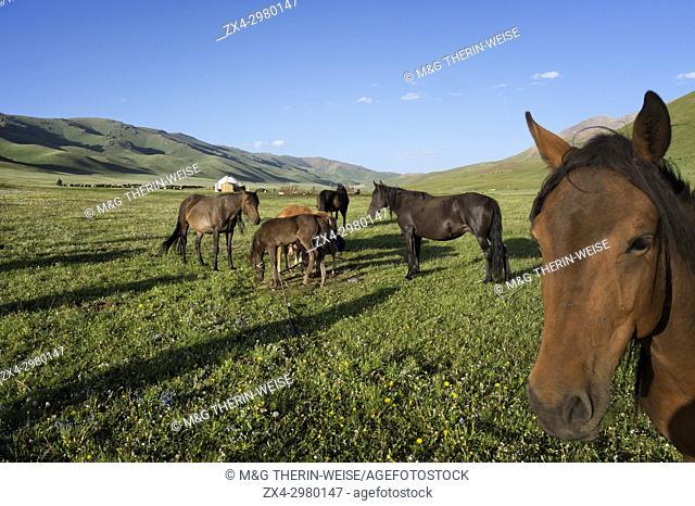 Horses, Song Kol Lake, Naryn province, Kyrgyzstan, Central Asia