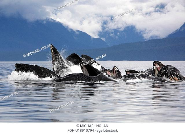 Humpback whales Megaptera novaeangliae co-operatively bubble-net feeding note the baleen hanging from the upper jaws Chatham Strait