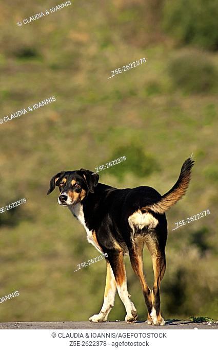 Mongrel dog walking on rural road and looking back at camera
