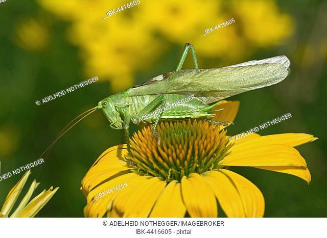 Large grasshopper (Tettigonia viridissima) on Echinacea, male, Burgenland, Austria