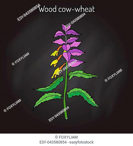 Wood cow-wheat, Night and Day Melampyrum nemorosum , medicinal plant. Hand drawn botanical vector illustration