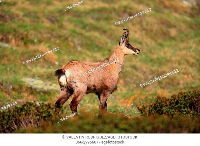 Chamois (Rupicapra rupicapra) in the national park Gran Paradiso. Italy