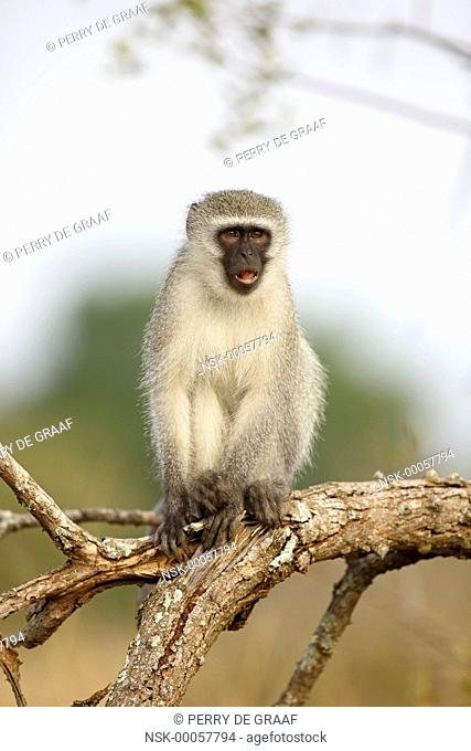 Vervet Monkey (Chlorocebus pygerythrus) sitting on a branch and eating, South Africa, Mpumalanga, Kruger National Park