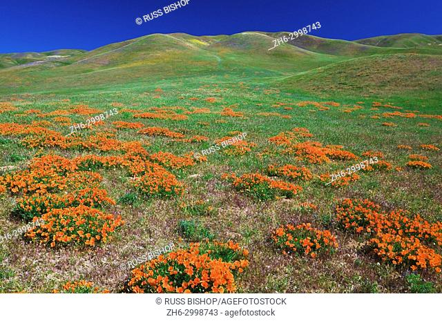 California Poppies (Eschscholzia californica) in the Tehachapi Mountains, Angeles National Forest, California USA