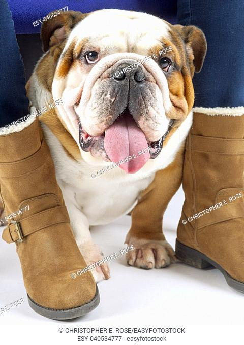 A young traditional British Bulldog sits on a white seamless background under his mistresses chair looking at the camera