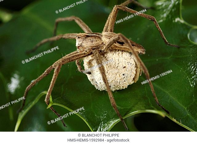 France, Araneae, Pisauridae, Nursery web spider (Pisaura mirabilis), female carrying its cocoon