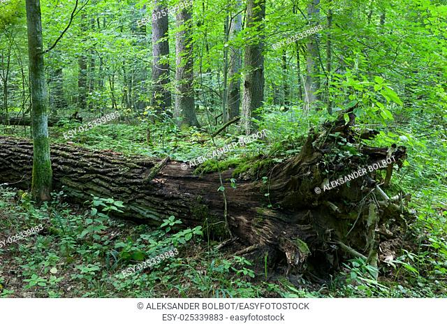 Broken tree trung lying storm after among deciduous trees, Bialowieza Forest, Poland, Europe
