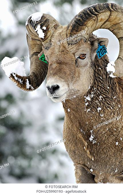 close up portrait tagged bighorn sheep in fresh