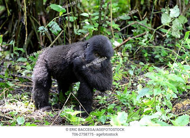 Young mountain gorilla (Gorilla beringei beringei) scratching. Virunga National Park. Democratic Republic of Congo. Africa
