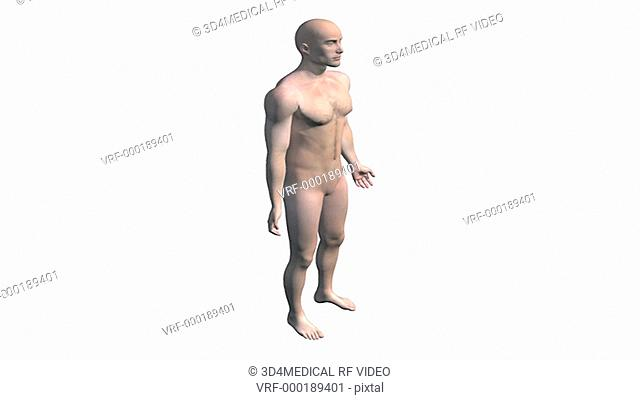 A zoom in on the full male figure which fades to wire frame under which the skeletal system fades up. The camera then zooms in finishing on the torso