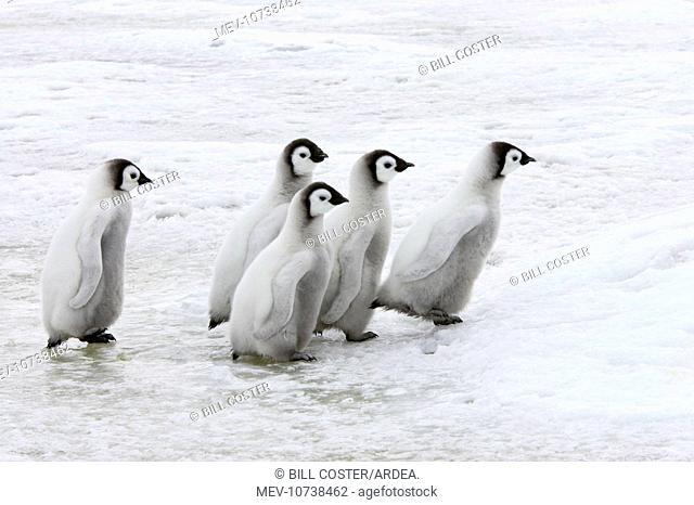 Emperor Penguin - Chicks Walking Across Sea Ice (Aptenodytes forsteri)