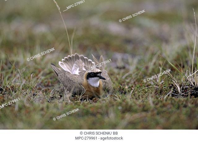 Mongolian Plover Charadrius mongolus, in broken-wing diversion display, Siberia