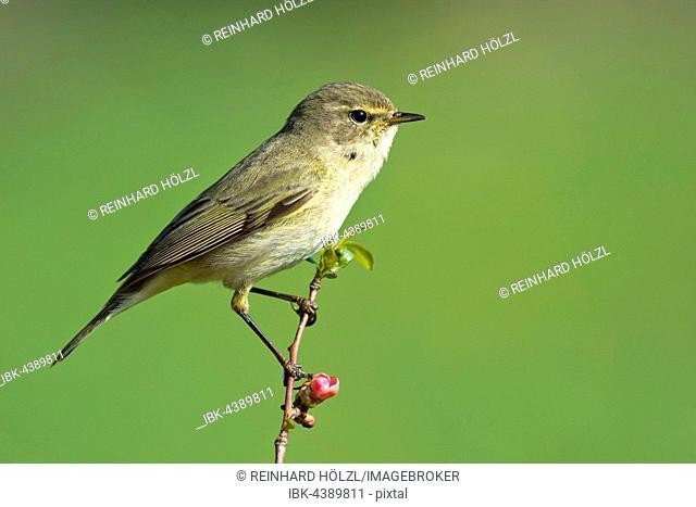 Chiffchaff (Phylloscopus collybita), bird, perched, Burgenland, Austria