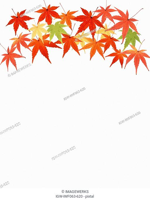 Maple leaves on white background, close-up