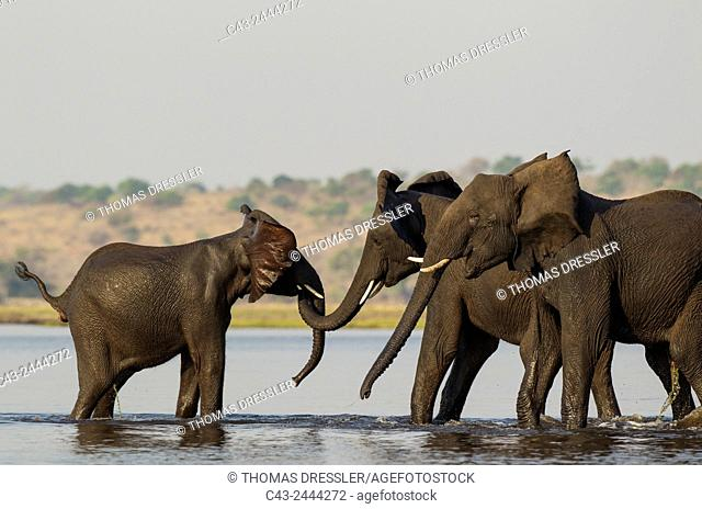 African Elephant (Loxodonta africana) - Females that just have been crossing the Chobe River rushed back into the water to welcome a juvenile straggler