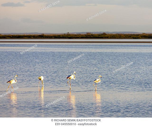 flamingos, Camargue, Provence, France