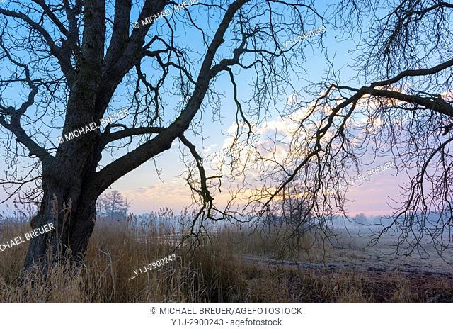 Chestnut trees on early morning, February, Hesse, Germany, Europe