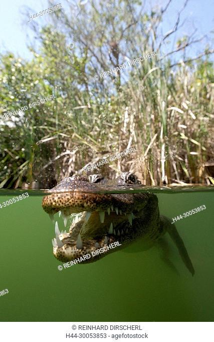 Morelets Crocodile, Crocodylus moreletii, Cancun, Yucatan, Mexico