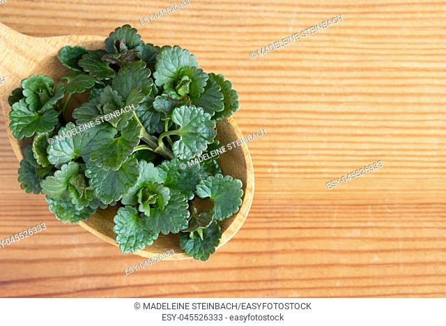 Young ground-ivy (Glechoma hederacea) leaves on a wooden spoon