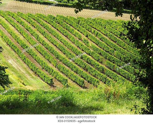 vineyard near Monbazillac, Dordogne Department, Nouvelle-Aquitaine, France