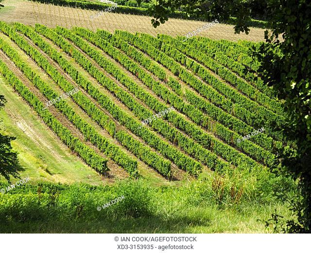 vineyard near Monbazillac, Dordogne Department, Nouvelle-Aquitaine, France