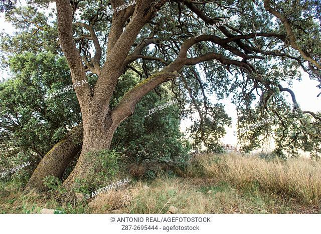 Holm oak, (Quercus ilex), Alpera, Albacete province, Castile La Mancha, Spain