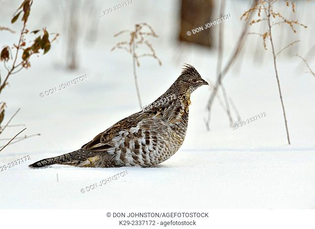 Ruffed grouse (Bonasa umbellus), Greater Sudbury (Lively), Ontario, Canada