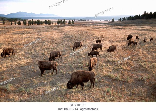 American bison, buffalo (Bison bison), grazing herd in the prairie, USA, Wyoming, Yellowstone National Park