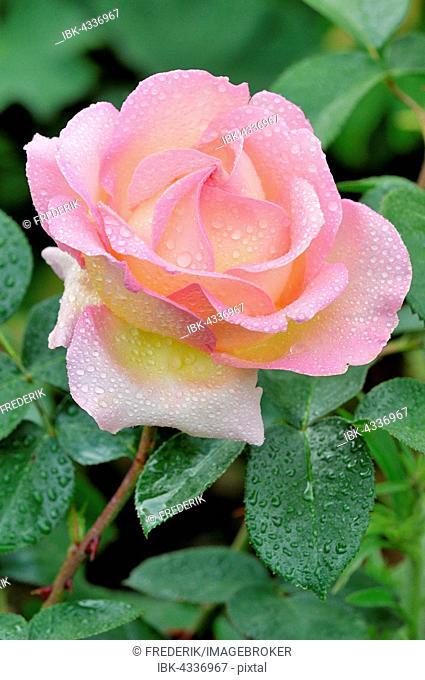 Rose (Rosa sp.), Blossom with dewdrops, North Rhine-Westphalia, Germany