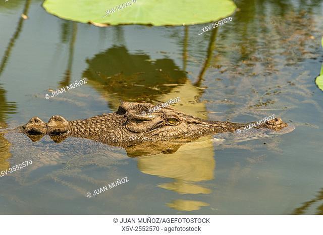 Saltwater crocodile Crocodylus porosus .Kakadu National Park. Northern Territory. Australia