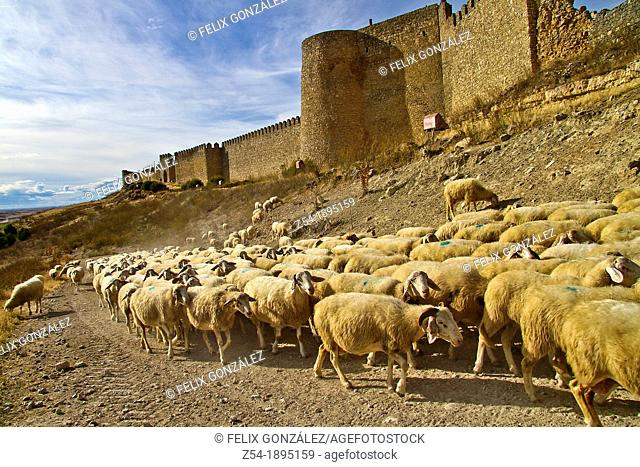 Flock sheep, near castle wall Urueña, Valladolid, Castile and León, Spain
