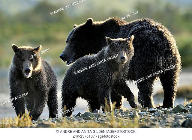 Grizzly Bear (Ursus arctos horribilis) mother with two cubs on pebbles at riverbank, cubs looking at camera, Katmai national park, Alaska, USA