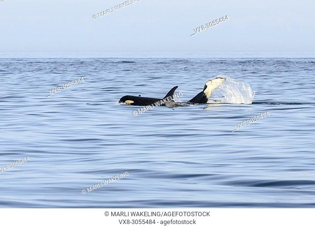 Southern Resident orca, J-Pod, J-4 Matriline, Orca orcinus, Salish Sea, endangered, British Columbia, Canada, Pacific Ocean