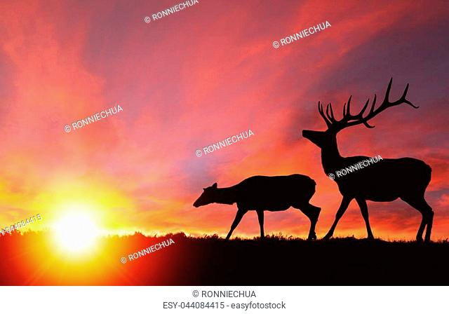 Silhouette of a red deer bull elk and a female elk cow with dramatic sunset in the background. Also known as wapiti or Cervus canadensis